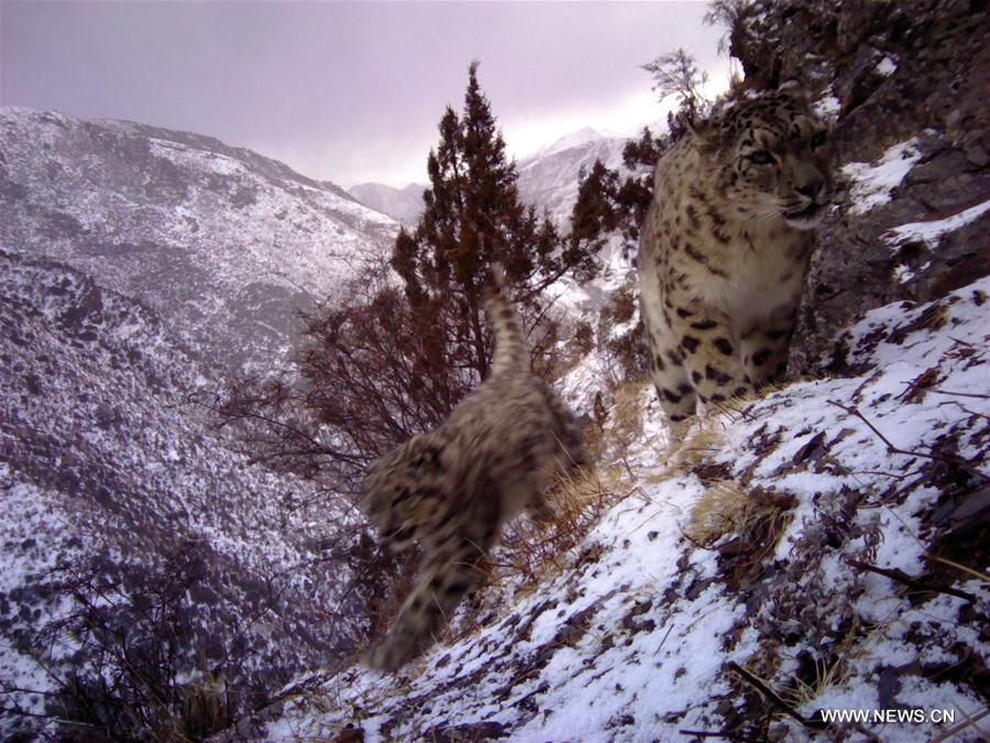 (环境)(1)西藏昌都怒江河谷拍摄到健康雪豹种群