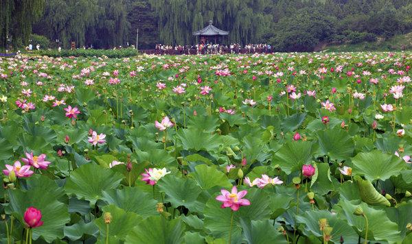 O trouver les plus belles fleurs de lotus beijing - Ou acheter le tapis champ de fleurs ...