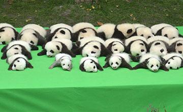 chengdu 23 b b s pandas pr sent s au public. Black Bedroom Furniture Sets. Home Design Ideas