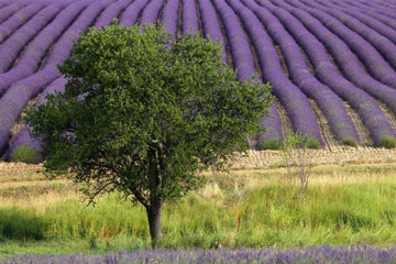 Photos - Paysages de lavande en Provence
