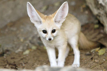Photos d'un bébé fennec adorable