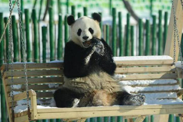 Photos - Deux pandas géants adorables au Heilongjiang