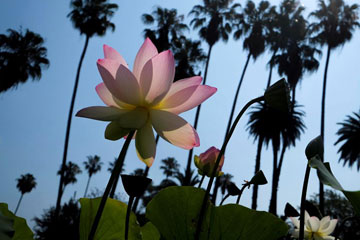 Fleurs de lotus à Los Angeles