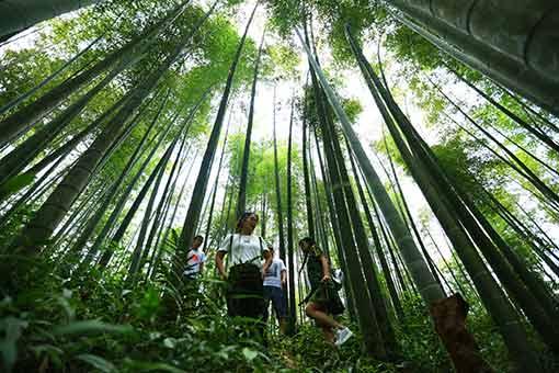 Chine : parc forestier de bambous au Guizhou