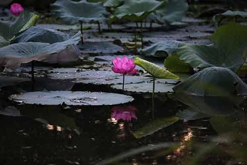 Chine : lotus en fleurs dans l'est